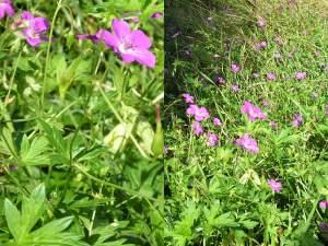 purva gandrene - Geranium palustre L.