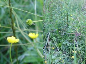 Zeltainā gundega (latīņu: ranunculus auricomus; angļu: goldilocks buttercup, krievu: лютик золотистый)